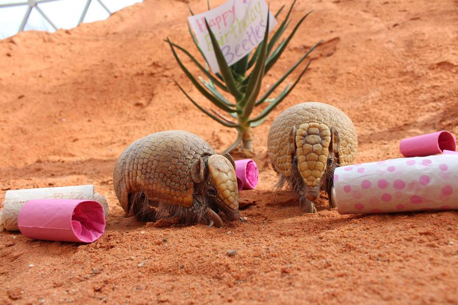 Beetles the Armadillo enjoys  additional enrichment on her birthday.
