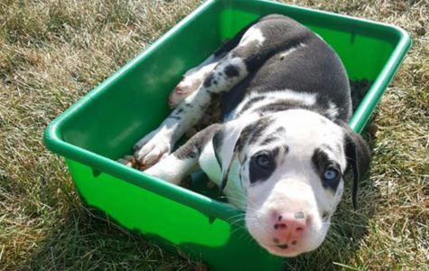 Spanish teacher finds forever homes for her Great Dane puppies
